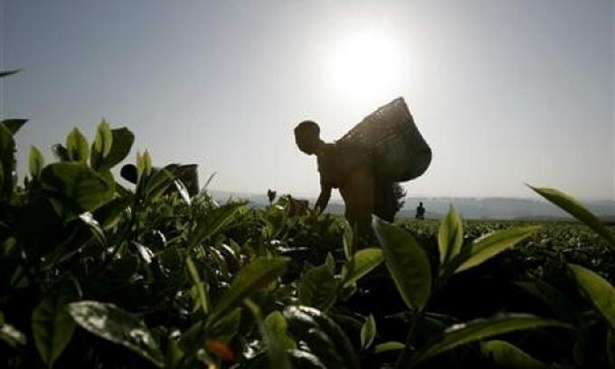 Неврожай спричинить подорожчання чаю на 15%