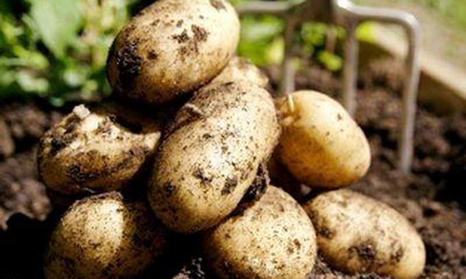 На Волині картоплю закупили по 2,4 грн. за кілограм