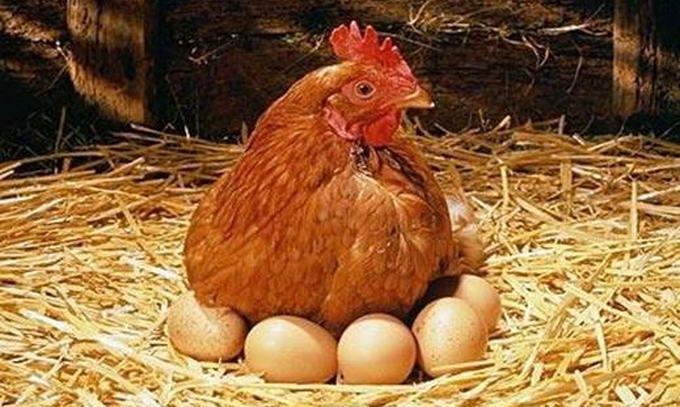 В Україні збільшилося виробництво курячих яєць