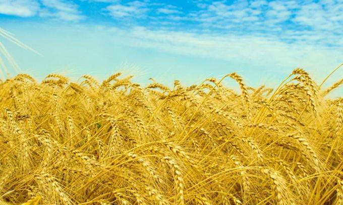 Єгипет викине Україну зі списку постачальників зерна на 2013 рік