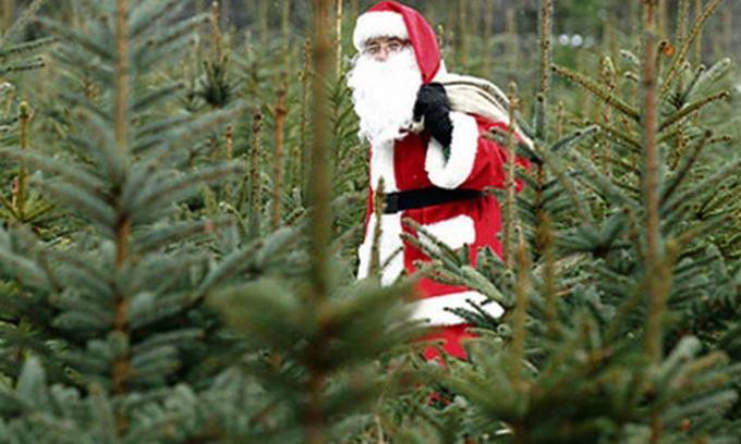 У Луцьку ялинки продаватимуть з 15 грудня