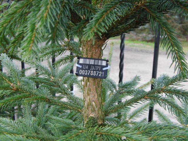 Новорічні ялинки лісівники продаватимуть від 35 до 200 гривень