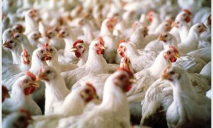Україна експортуватиме до Євросоюзу курятину