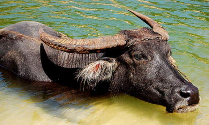Індія хоче постачати в Україну м'ясо буйволів