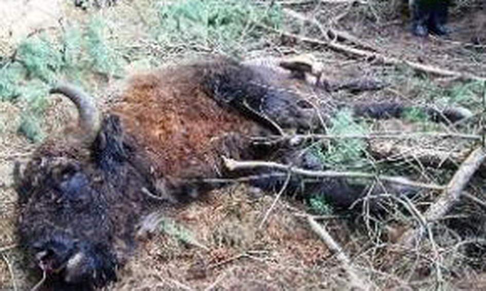 На Волині вбили зубра