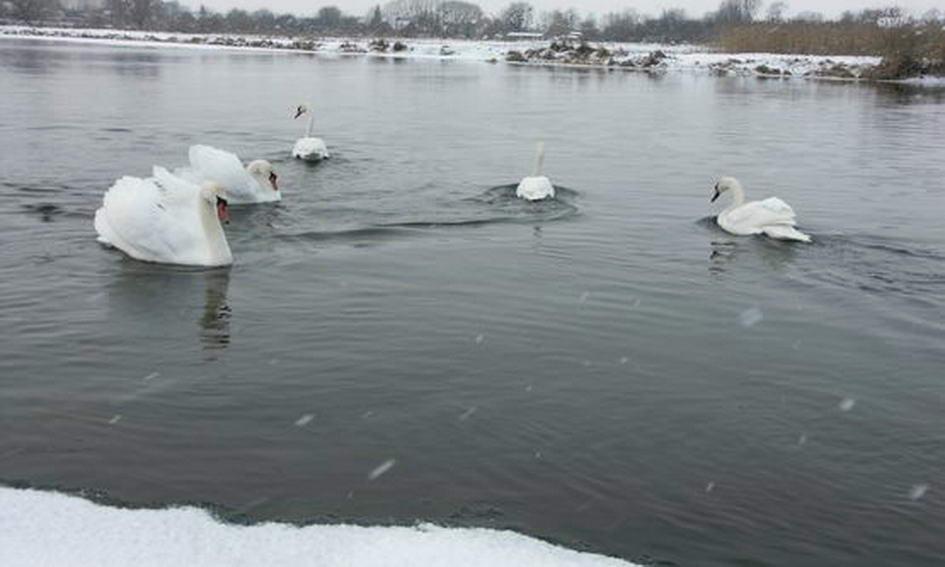 На водосховище в Ковелі прилетіли три пари лебедів