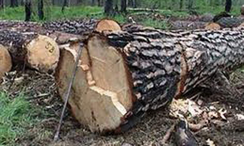 У Турійськомі районі виявили незаконну порубку дерев у заказнику