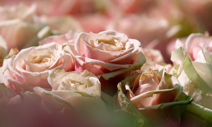 Ціни на троянди до свята удвічі зросли