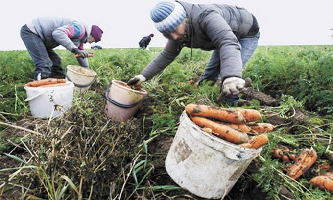 Волинські фермери задумуються, чи вирощувати овочі