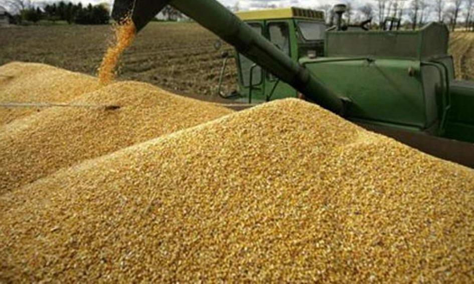 Кукурудза стала основною культурою українського експорту