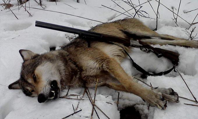 Мисливці знищують вовків-шкідників