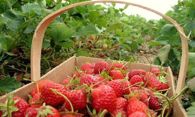 Поляки будуть вирощувати полуницю на Луганщині
