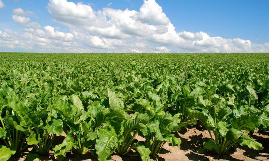 Цього року цукровим буряком на Волині засіють 7,5 тисячі гектарів