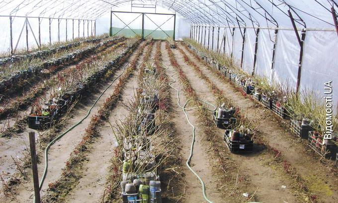 Садовод із Липин вирощування саджанців перетворив із захоплення на бізнес