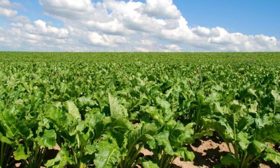Цьогорічний урожай повністю забезпечить українців цукром