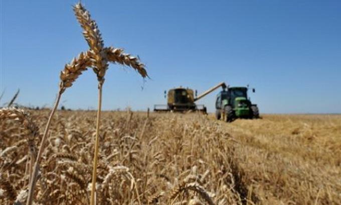 Аграрії уже намолотили 178 тисяч тонн озимого зерна