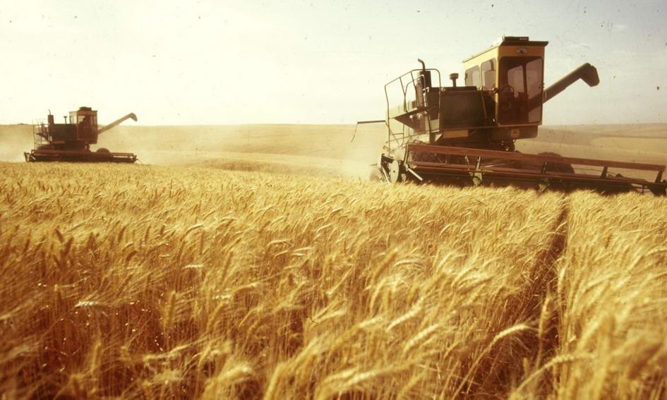 Прогноз урожаю пшениці становить 53-54 мільйони тонн