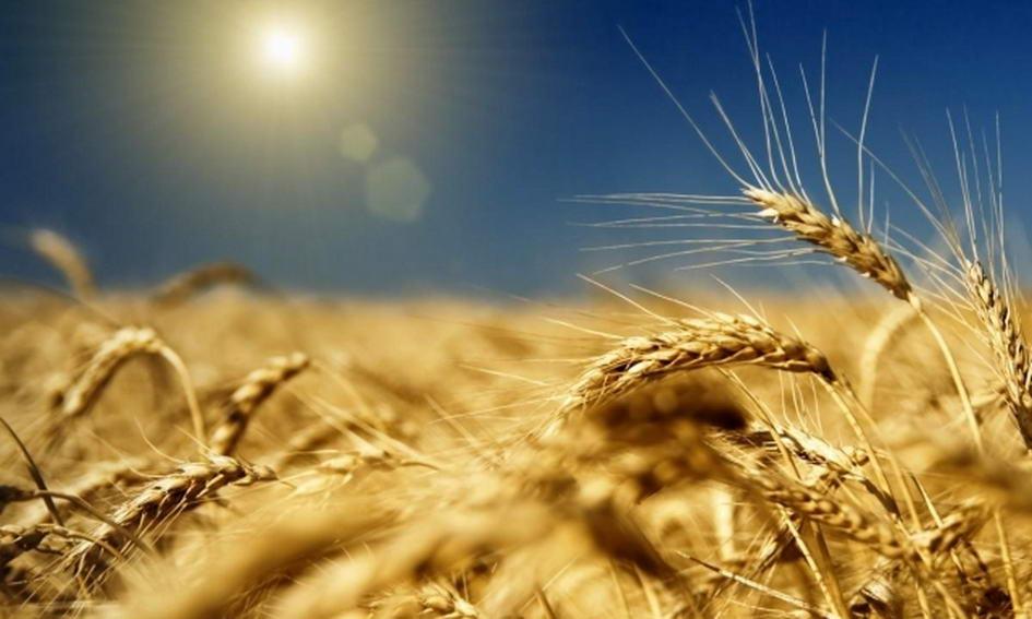 Цього сезону зберуть на 18% більше зерна, ніж минулого року