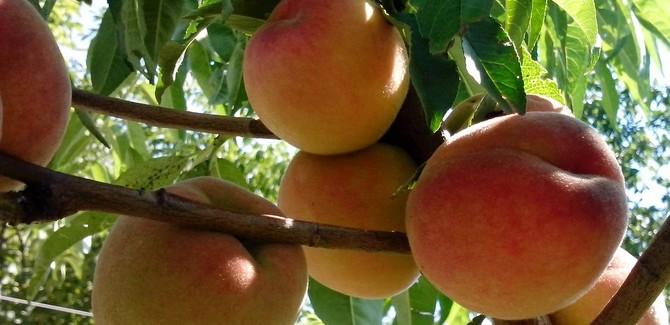 Українські садоводи зібрали рекордний урожай персиків