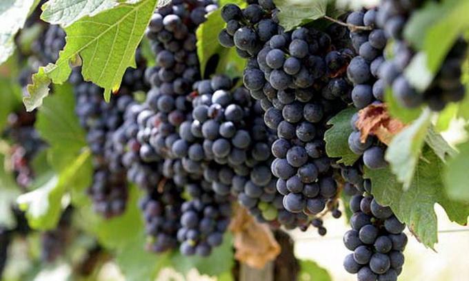 Цьогоріч зберуть винограду на 9% більше, ніж торік