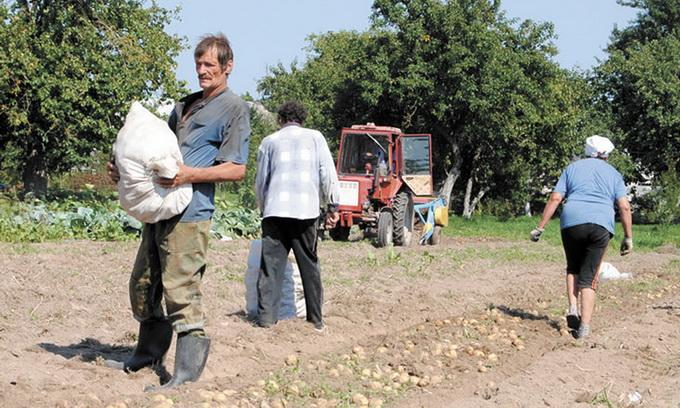 На Волині знову чекають перевиробництва овочів