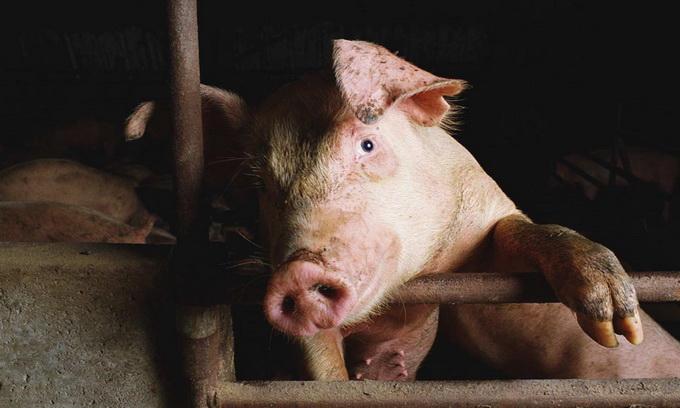 Білоруську свинину тимчасово заборонили ввозити в Росію