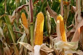 На Ковельщині дівчата крали кукурудзу