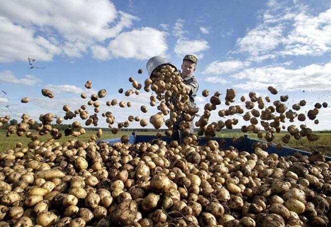 Азаров заспокоїв, що Україна має два річні врожаї картоплі