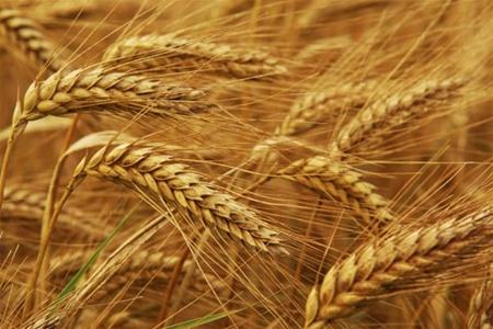 Янукович упевнений, що Україна займе друге місце у світі з експорту зернових