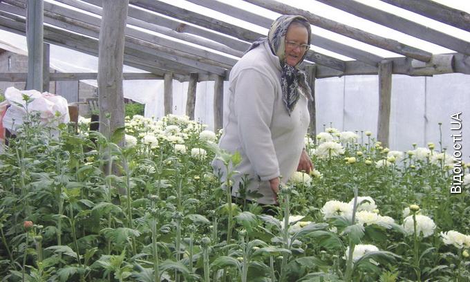 Селян годує хризантемний бізнес