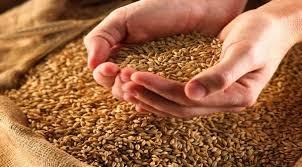 Урожай зернових в Україні перевищив минулорічний на 23%