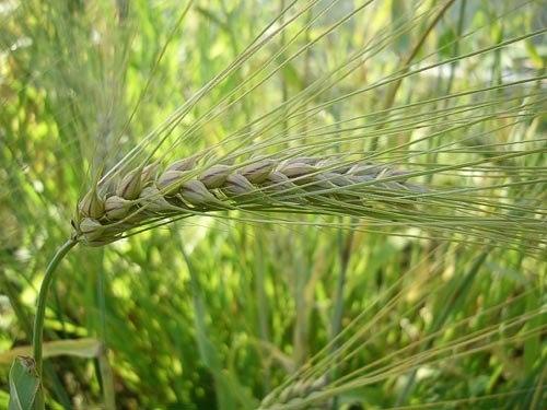 Теплий листопад може спричинити неврожай пшениці
