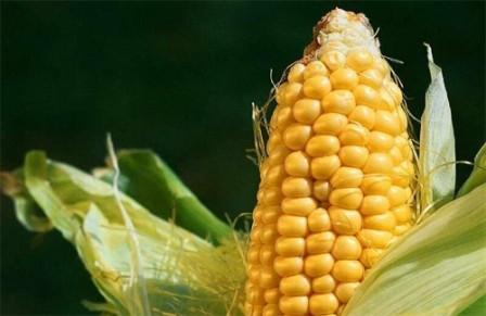 Україна пришвидшила експорт кукурудзи