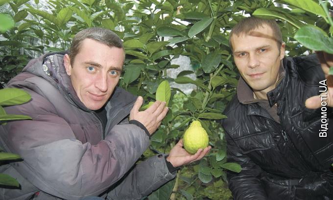У селі біля Луцька ростуть лимони-гіганти