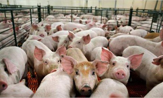 Росія відмовилася від української свинини