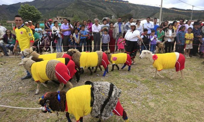У Колумбії вівці зіграли в футбол