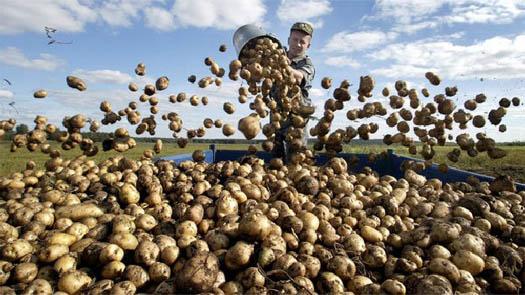 Із сьогоднішнього дня Росія заборонила поставки картоплі з України