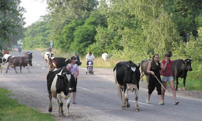 Через низьку закупівельну ціну молока та м'яса селяни починають вирізати худобу