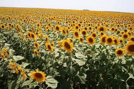 Росія хоче заборонити ще і сою, кукурудзу і соняшник з України