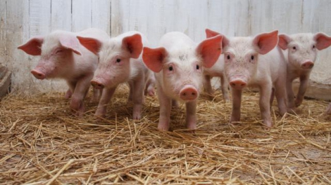 Білорусь заборонила ввезення української свинини через африканську чуму