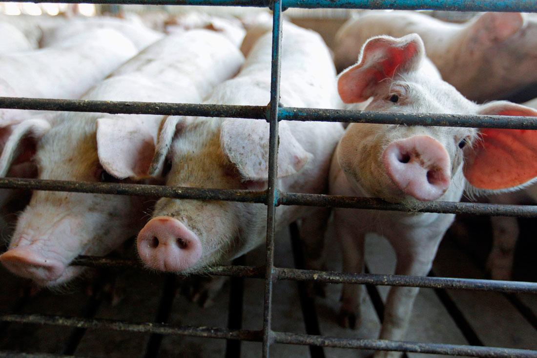 На Волині вдаються до активних заходів, щоб не допустити захворювання свиней африканською чумою
