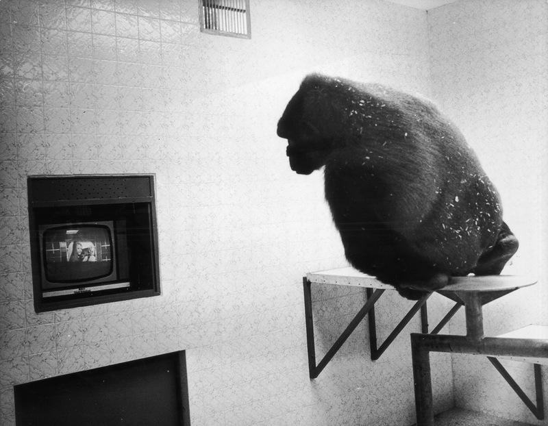 Мавпи запам'ятовують фільми та отримують задоволення від повторного перегляду улюблених сцен