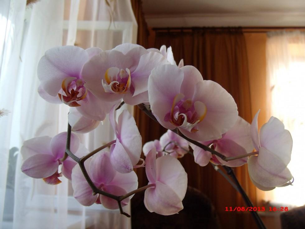 Рожищенська квітникарка розповіла, як правильно доглядати за орхідеями