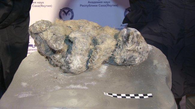 В Якутії знайшли добре збережені останки дитинчат печерного лева