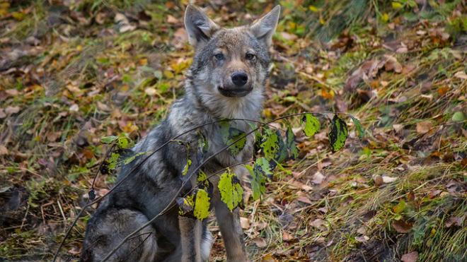 У Польщі вовки повернулися в Кампіноський національний парк