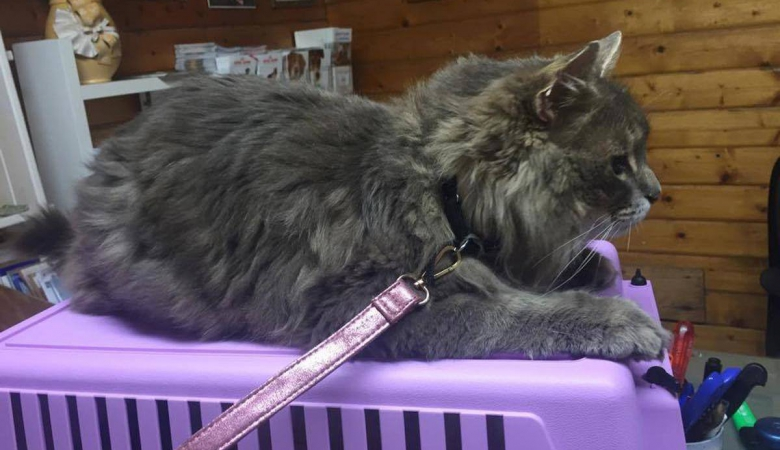 Кота, який зник у Швеції, знайшли на півдні Франції