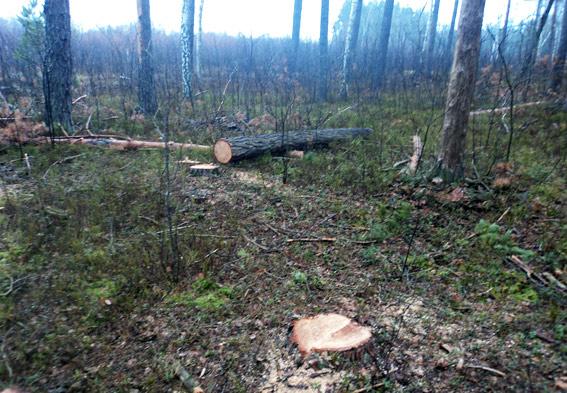 Зловмисники із Волині нарубали лісу на 20 тисяч