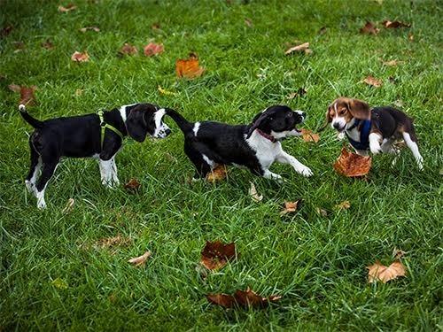 У США собака виносила із пробірки семеро цуценят