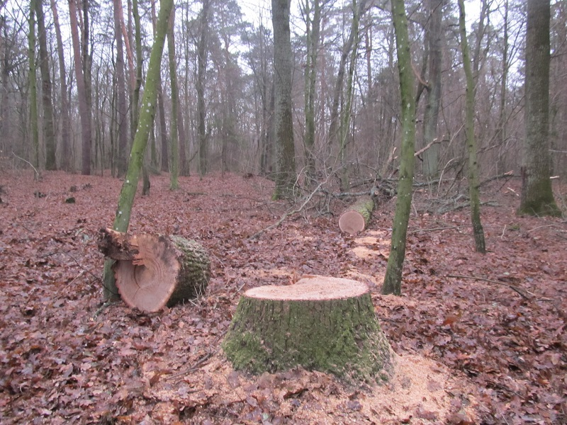 Зловмисники зрізали столітні дуби заказника «Лісова алея»