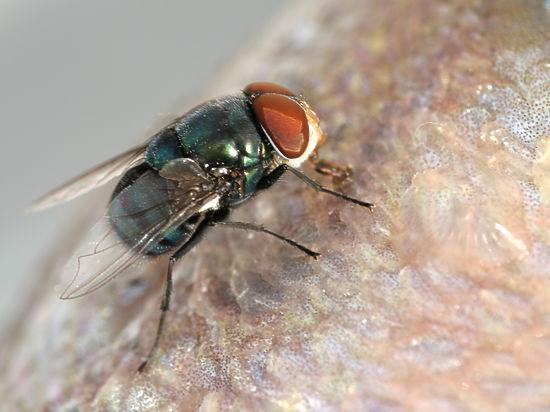 Учені змогли «прочитати» «думки» мухи